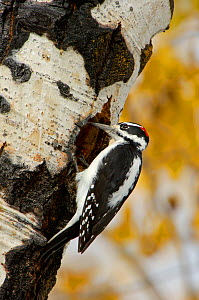 RF- Hairy woodpecker (Picoides villosus) male on aspen tree. Grand Teton National Park, Wyoming, USA. (This image may be licensed either as rights managed or royalty free.)  -  Rolf Nussbaumer