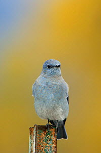 Mountain bluebird {Sialia currucoides} male on post, Grand Teton NP, Wyoming, USA  -  Rolf Nussbaumer