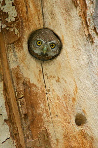 RF- Northern pygmy owl (Glaucidium gnoma) adult looking out of nest hole in sycamore tree. Arizona, USA. (This image may be licensed either as rights managed or royalty free.)  -  Rolf Nussbaumer