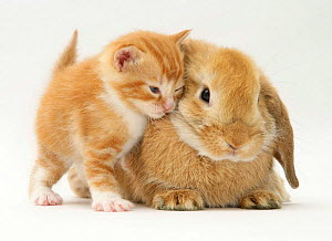 Domestic kitten (Felis catus) next to bunny, domestic rabbit NOT AVAILABLE FOR BOOK USE UNTIL 2025. CONTACT US TO ORDER FOR OTHER USES. NOT AVAILABLE FOR BOOK USE - Jane Burton