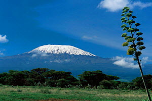 Snow-capped Mount Kilimanjaro with Agave growing  in foreground, Amboseli National Park, Kenya. - Anup Shah