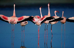 Lesser flamingos {Phoeniconaias minor} performing 'wing salute' as part of courtship display, the wings are spread out to the side of the body and held in this position for several seconds, making the...  -  Anup Shah