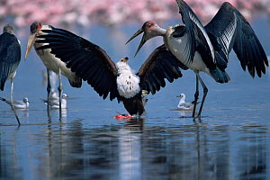 African fish eagle {Haliaeetus vocifer} defends Lesser flamingo carcass from Marabou storks {Leptoptilos crumeniferus}, Lake Nakuru, Kenya.  -  Anup Shah