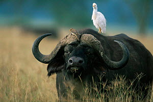 Cape buffalo {Synceros caffer caffer} with Oxpecker bird and Cattle egret {Bubulcus ibis} perched on back. Lake Nakuru NP, Kenya.  -  Anup Shah