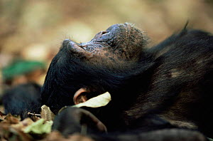 Eastern common chimpanzee {Pan troglodytes schweinfurtheii} lying on ground, Mahale NP, Tanzania - Anup Shah