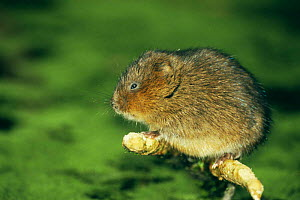 Water vole (Arvicola terrestris) perched on sycamore branch, Cromford Canal, Derbyshire, UK  -  Andrew Parkinson
