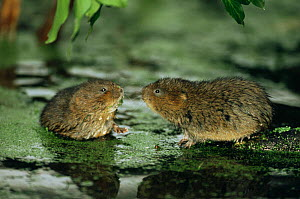 Two water voles (Arvicola terrestris) in threatening posture stand off, Cromford Canal, Derbyshire, UK  -  Andrew Parkinson