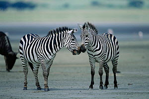 Two Plains / Common Zebras greeting {Equus quagga} mouthing, East Africa. - Anup Shah
