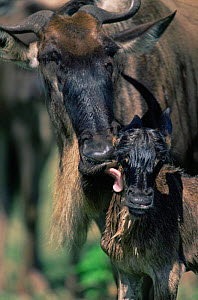 Wildebeest {Connochaetes taurinus} cleaning calf, East Africa. - Anup Shah