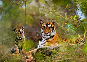 Female Tiger {Panthera tigris} with four-month-old cub, Bandhavgarh NP, India.  -  Tony Heald
