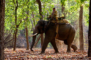 Indian elephant {Elephas maximus} with Mahout, used for carrying tourists to view Tigers, Bandhavgarh NP, India.  -  Sharon Heald