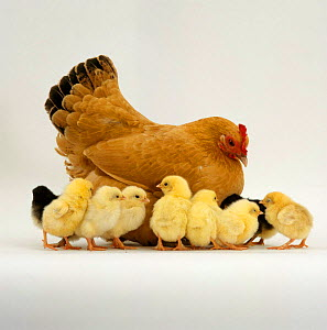Buff Bantam Hen {Gallus gallus domesticus} with nine of her ten chicks, 2-days-old. The tenth chick is under her - Jane Burton