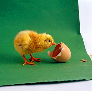 Yellow chick {Gallus gallus domesticus} Day-old with its own eggshell. - Jane Burton