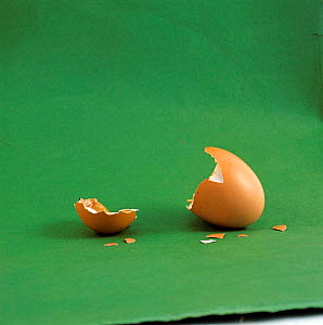 Eggshell {Gallus gallus domesticus} after chick has hatched - Jane Burton