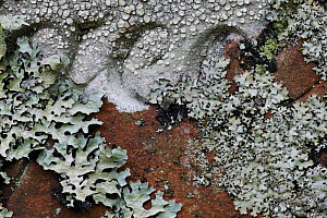 Close-up of mosses and lichens on gravestone, UK. - Jason Smalley
