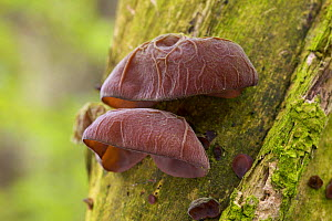 Close-up of Jelly Ear / Jews's Ear fungus {Auricularia auricula judae} on Elder in woodland, UK. - Jason Smalley