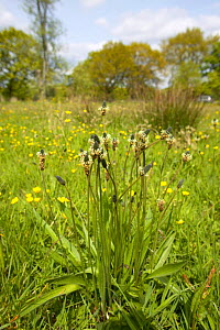 Ribwort Plantain {Plantago lanceolata} growing in a Lancashire meadow, UK.  -  Jason Smalley