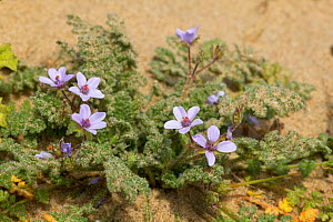 Sea Stork's-bill {Erodium maritimum} growing in dunes at Formby, Merseyside, UK  -  Jason Smalley
