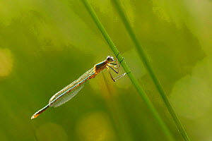 Damselfly {Sympecma fusca} resting on pondside vegetation, UK.  -  Jason Smalley