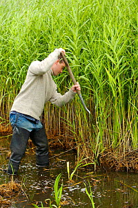 Conservation volunteer clearing reedbed to create a pool to encourage bitterns at rspb reserve, Leighton Moss, Lancashire, UK.  -  Jason Smalley