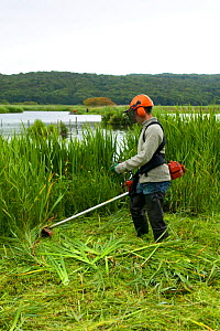 Conservation volunteer brushcutting invasive vegetation from reedbeds at Leighton Moss reserve, Lancashire, UK. - Jason Smalley