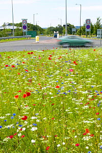 Corncockle {Agrostemma githago} Poppy {Papaver sp.} and Marigold {Calendula sp.} growing on busy roundabout planted with arable weed mix, wildflower and wild meadow seed mix to attract wildlife, UK.  -  Jason Smalley