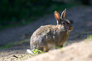 European rabbit {Oryctolagus cuniculus} scarred by myxamatosis infection, UK. - Jason Smalley