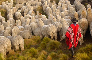 Indian herding Alpaca herd {Lama pacos} base of Cotopaxi Volcano, Andes, Ecuador.2005 - Pete Oxford