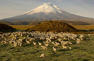 Cotopaxi Volcano (5897 meters) and herd of Alpacas (Lama pacos), Highest active volcano in the world, surrounded by Paramo Habitat, Cotopaxi NP, Andes, Ecuador - Pete Oxford