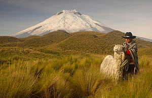 Cotopaxi Volcano (5897 meters) and Indian boy with long haired Suri Alpaca (Lama pacos) Highest active volcano in the world, surrounded by Paramo Habitat, Cotopaxi NP, Andes, Ecuador - Pete Oxford