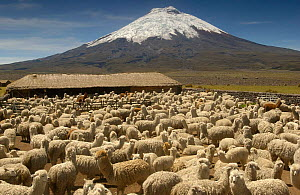 Cotopaxi Volcano (5897 meters) and herd of Alpacas (Lama pacos), Highest active volcano in the world, surrounded by Paramo Habitat, Cotopaxi National Park, Andes, Ecuador - Pete Oxford