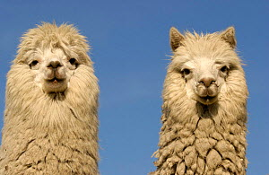 Two Alpacas {Lama pacos} head portraits, Andes. Ecuador. - Pete Oxford