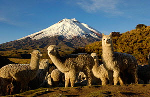 Cotopaxi Volcano (5897 meters) and herd of Alpacas (Lama pacos) Highest active volcano in the world, surrounded by Paramo Habitat, Cotopaxi National Park, Andes, Ecuador - Pete Oxford