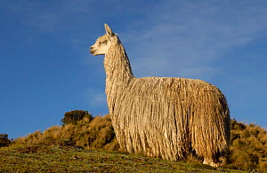 Alpaca Suri, a long haired variety of alpaca {Lama pacos} Andes, Ecuador - Pete Oxford