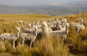Alpacas {Lama pacos} on the Paramo after shearing, Casa Condor, San Pablo Community, Pulingui, base of Chimborazo Volcano, Andes, Ecuador - Pete Oxford