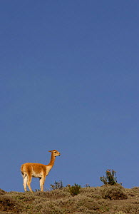 Vicu�a {Lama vicugna} Chimborazo Reserve, Andes, Ecudor. Re-introduced 270 animals in 1988 and by 2003 there were 2800  -  Pete Oxford