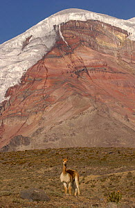 Vicu�a {Lama vicugna} with Chimborazo Volcano behind, Chimborazo Reserve, Andes, Ecuaor. Re-introduced 270 animals in 1988 and by 2003 there were 2800  -  Pete Oxford
