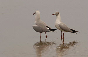 Grey / Gray-headed Gulls {Chroicocephalus cirrocephalus} San Pablo Beach, Guayas, Ecuador.  -  Pete Oxford