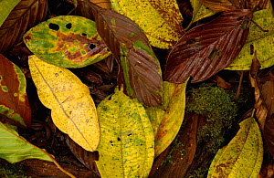 Imperial moth (Eacles sp) camouflaged in leaf litter,  Mindo Cloud forest. Ecuador - Pete Oxford
