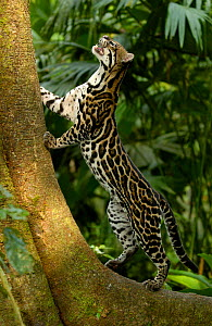 Ocelot (Felis / Leopardus pardalis) Amazon Rainforest, Ecuador captive  -  Pete Oxford