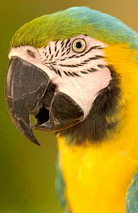 Blue and yellow macaw (Ara ararauna) captive, Amazon Rain Forest. Ecuador. - Pete Oxford