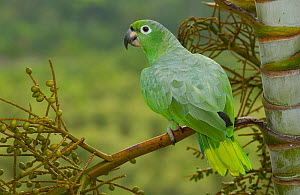Mealy Amazon parrot (Amazona farinosa) Amazon Rain Forest. ECUADOR.  -  Pete Oxford