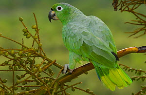 Mealy Amazon parrot (Amazona farinosa) Amazon Rainforest. ECUADOR.  -  Pete Oxford