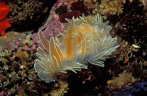 White lined / Alabaster nudibranch or Falling archangel {Dirona albolineata} Canada, Pacific  -  Jurgen Freund