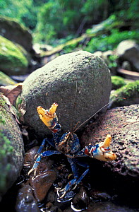 Blue Lamington spiny crayfish, Lamington NP, Queensland, Australia  -  Jurgen Freund