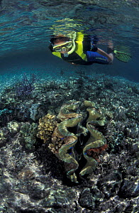Shallow coral reef with Giant clam {Tridacna sp} and snorkeler, Papua New Guinea - Jurgen Freund