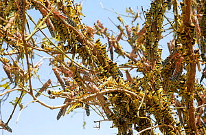 Desert locust swarm {Schistocerca gregaria} flightless hoppers and adults strip a tree bare of leaves, Mauritania, N Africa  -  Mike Potts