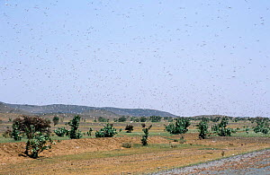 Desert locust swarm {Schistocerca gregaria} locusts killed by road traffic, SW Mauritania, N Africa  -  Mike Potts