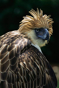 Philippine / Monkey eating eagle {Pithecophaga jefferyi} captive, Philippines - Patricio Robles Gil