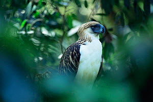 Philippine / Monkey eating eagle {Pithecophaga jefferyi} in forest setting, captive, Philippines - Patricio Robles Gil